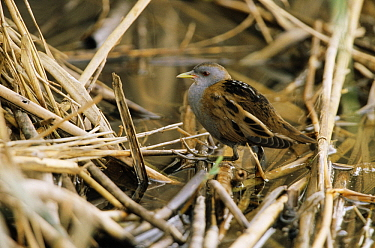 Little Crake (Porzana parva) male walking across reeds in wetland, Europe  -  Duncan Usher