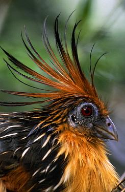 Hoatzin (Opisthocomus hoazin) portrait, Guyana  -  Flip de Nooyer