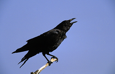 Carrion Crow (Corvus corone) calling, Europe  -  Adri Hoogendijk/ Buiten-beeld