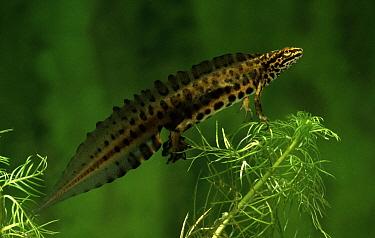 Smooth Newt (Lissotriton vulgaris) male underwater, western Europe  -  Rene Krekels/ NIS