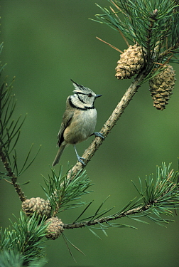 Crested Tit (Lophophanes cristatus) in Pine (Pinus sp) tree, Europe  -  Flip de Nooyer