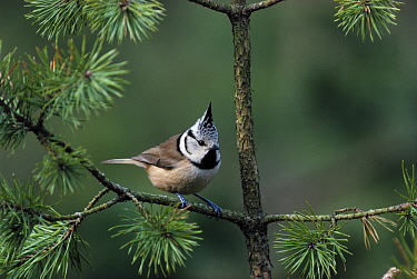 Crested Tit (Lophophanes cristatus) in pine tree, Europe  -  Flip de Nooyer