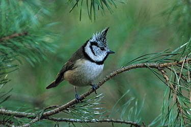 Crested Tit (Lophophanes cristatus) on pine twig, Europe  -  Flip de Nooyer