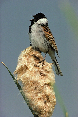 Reed Bunting (Emberiza schoeniclus) male singing on cattail, Europe  -  Flip de Nooyer