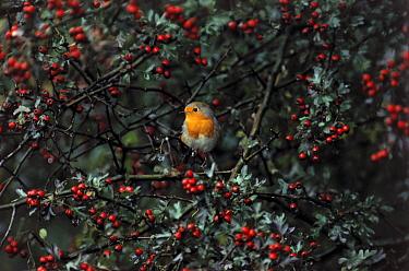 European Robin (Erithacus rubecula) perched in berry bush, Europe  -  Flip de Nooyer