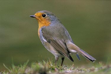 European Robin (Erithacus rubecula) portrait, Europe  -  Flip de Nooyer