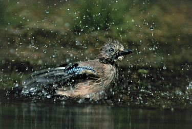 Eurasian Jay (Garrulus glandarius) bathing, Europe  -  Flip de Nooyer