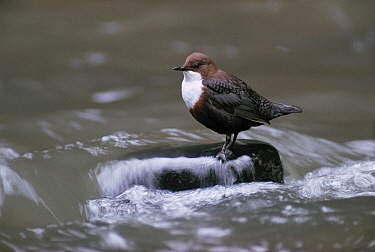 White-throated Dipper (Cinclus cinclus) on stone in water fishing, unusual songbird that fishes in streams, Europe  -  Flip de Nooyer