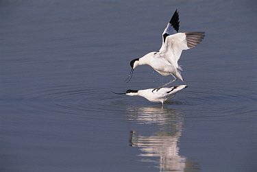 Pied Avocet (Recurvirostra avosetta) couple mating, Europe  -  Flip de Nooyer
