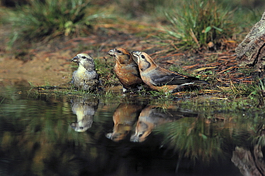 Red Crossbill (Loxia curvirostra) two males and one female at waterhole, Europe  -  Flip de Nooyer