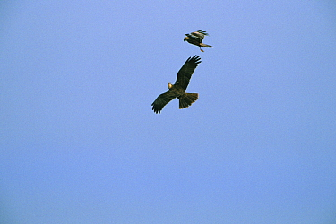 Western Marsh-Harrier (Circus aeruginosus) hawk couple courting flying, Europe  -  Flip de Nooyer