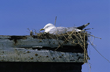 Mew Gull (Larus canus) nesting on rooftop, Europe  -  Wim Klomp/ NiS
