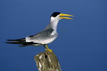 Large-billed Tern (Phaetusa simplex) calling, Pantanal ecosystem, Brazil  -  Wil Meinderts/ Buiten-beeld