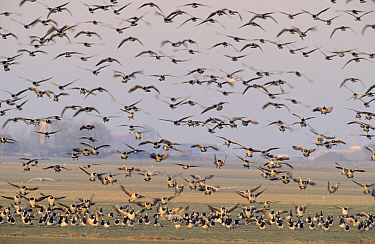 Barnacle Goose (Branta leucopsis) flock landing and flying over polder landscape, Europe  -  Flip de Nooyer