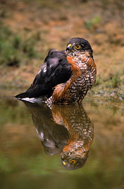 Eurasian Sparrowhawk (Accipiter nisus) male bathing, Europe  -  Flip de Nooyer