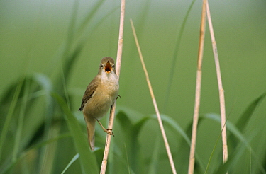 Eurasian Reed-Warbler (Acrocephalus scirpaceus) singing, Europe  -  Flip de Nooyer