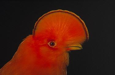 Guianan Cock-of-the-rock (Rupicola rupicola) male, Voltsberg, Surinam  -  Flip de Nooyer