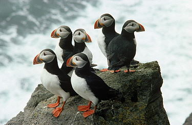 Atlantic Puffin (Fratercula arctica) group on rock, Europe  -  Flip de Nooyer