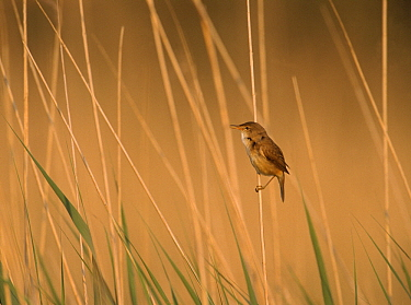 Eurasian Reed-Warbler (Acrocephalus scirpaceus) profile, side view, Europe  -  Flip de Nooyer