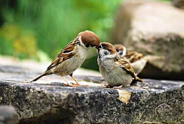 Tree Sparrow (Passer montanus) parent feeding young chick, Europe  -  Duncan Usher