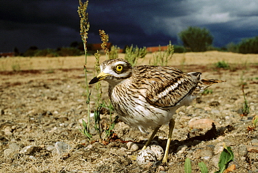 Eurasian Thick-knee (Burhinus oedicnemus) male on nest with eggs under stormy sky, Europe  -  Duncan Usher
