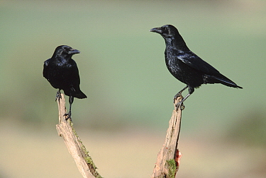 Carrion Crow (Corvus corone) pair, Europe  -  Duncan Usher