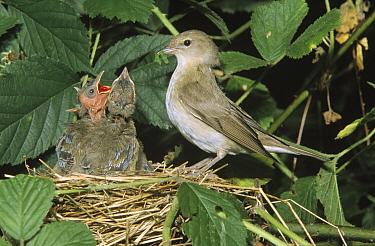 Garden Warbler (Sylvia borin) parent at nest with chicks, preparing to feed them a caterpillar, Europe  -  Duncan Usher