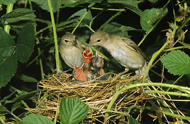 Garden Warbler (Sylvia borin) parents feeding chicks a caterpillar in nest, Europe  -  Duncan Usher