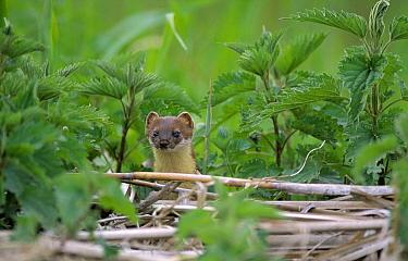 Short-tailed Weasel (Mustela erminea) amid nettles, Europe  -  Flip de Nooyer