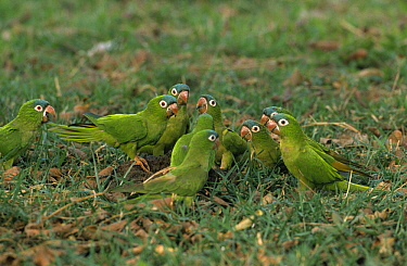 Blue-crowned Parakeet (Aratinga acuticaudata) group of feeding on the ground, Pantanal, Brazil  -  Flip de Nooyer