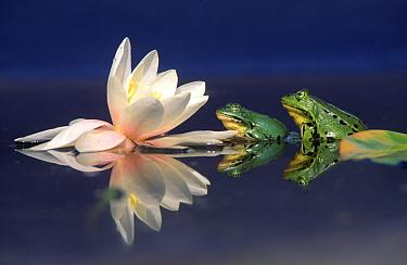 Edible Frog (Rana esculenta) pair on lily pad, Europe
