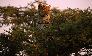 Leopard (Panthera pardus) surveys territory from treetop, Africa  -  Rob Reijnen / NiS
