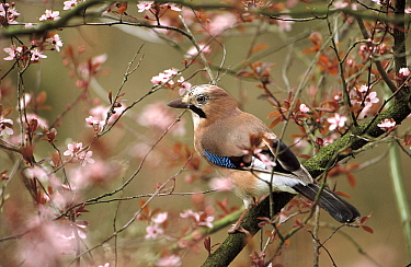 Eurasian Jay (Garrulus glandarius) perching on branch, Europe  -  Flip de Nooyer