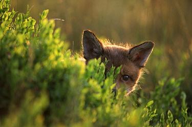 Red Fox (Vulpes vulpes) kit peeking out from behind a bush, Europe  -  Jan Vermeer