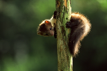 Beech Marten (Martes foina) young climbing tree, Europe  -  Jan Vermeer