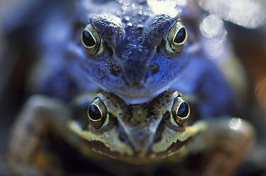 Moor Frog (Rana arvalis) mating pair, close up of faces, Europe  -  Jan Vermeer
