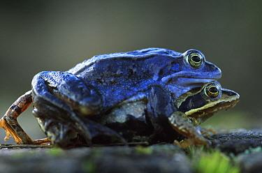 Moor Frog (Rana arvalis) pair mating, Europe  -  Jan Vermeer