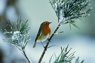 European Robin (Erithacus rubecula) on snow covered branch, Europe  -  Jan Vermeer
