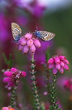 Silver-studded Blue (Plebejus argus) two butterflies on flowering Heath, Europe  -  Jan Vermeer
