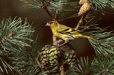 Eurasian Siskin (Carduelis spinus) male in Pine (Pinus sp) tree, Europe  -  Jan Vermeer