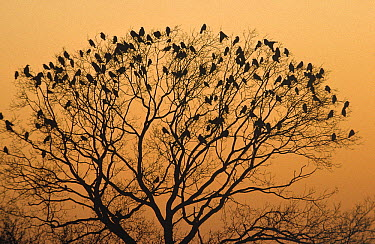 Rook (Corvus frugilegus) flock roosting in tree at dusk, Europe  -  Frits van Daalen/ NiS
