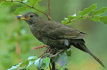 Eurasian Blackbird (Turdus merula) feeding on berries, Europe  -  Flip de Nooyer