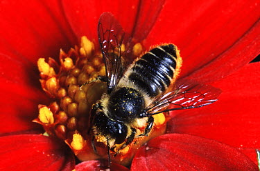 Leafcutter Bee (Megachile centuncularis) collecting pollen from red flower, western Europe  -  Jef Meul/ NIS