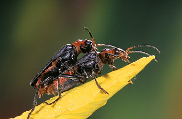 Soldier Beetle (Cantharis fusca) pair mating, Europe  -  Jef Meul/ NIS