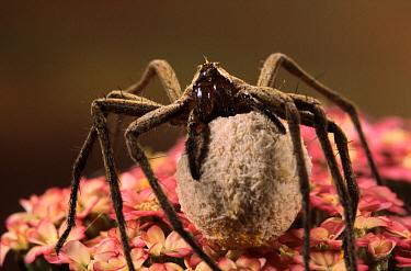 Nursery-web Spider (Pisaura mirabilis) female carrying egg sac, Europe  -  Jef Meul/ NIS