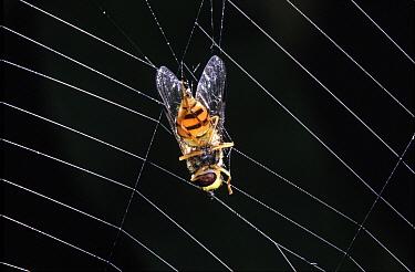 Marmalade Hover Fly (Episyrphus balteatus) trapped in web of Garden Spider (Araneus diadematus), Europe  -  Jef Meul/ NIS
