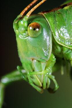 Great Green Bush Cricket (Tettigonia viridissima) head, Europe  -  Jef Meul/ NIS
