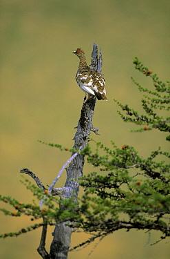 Hazel Grouse (Bonasa bonasia) perching in tree, Europe  -  Chris Schenk/ Buiten-beeld