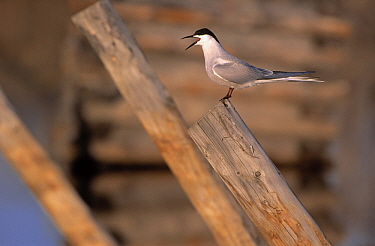 Roseate Tern (Sterna dougallii) calling from atop piling, Canada  -  Chris Schenk/ Buiten-beeld