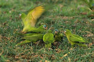 Blue-crowned Parakeet (Aratinga acuticaudata) group feeding on ground, Pantanal, Brazil  -  Flip de Nooyer
